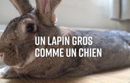 LE CHÊNE FLEURI Ancenis Maine Et Loire 49 Lapins 22 à 52 Semaines Reproducteur Garanti
