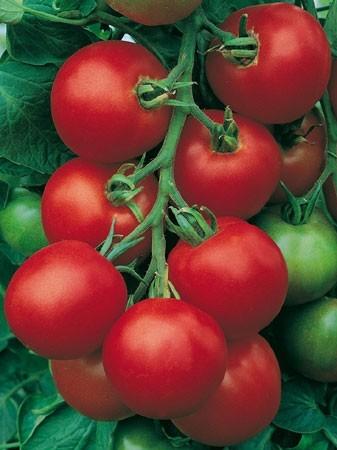 LE CHENE FLEURI Ancenis Maine Et Loire 49 Tomate Greffees Fandango