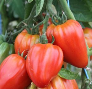 LE CHENE FLEURI Ancenis Maine Et Loire 49 Tomate Greffees Fleurette Coeur De Boeuf
